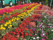 rows and rows of pretty flowers. bangalore, india. january 2016.