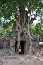 temple and tree existing together. siem reap, cambodia. may 2016.