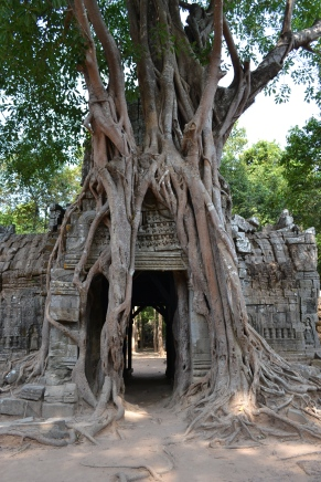 temple and tree growing together for centuries. siem reap, cambodia. may 2016.